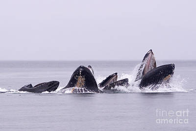 Bubble Feeding Humpbacks Art Print by Darcy Michaelchuk