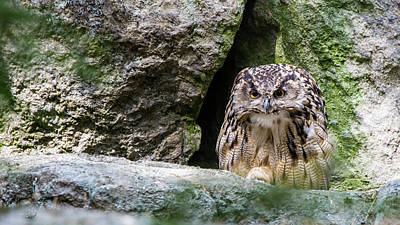 Animals Royalty-Free and Rights-Managed Images - Bubo bubo by Torbjorn Swenelius
