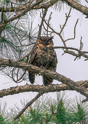 Photograph - Bubo Virginianus by Rob Sellers