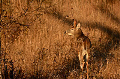 Photograph - Buck At Sundown by Linda Shannon Morgan