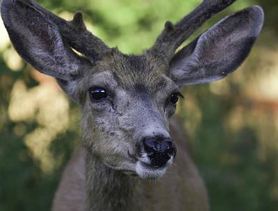 Photograph - Buck-deer-30-frontal by Rae Ann  M Garrett