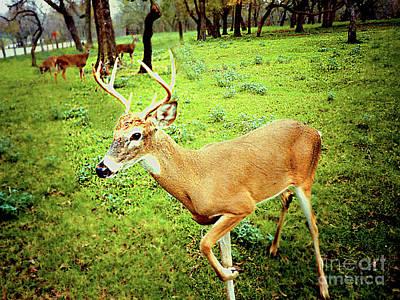 Photograph - Buck Deer And His Harem by Merton Allen