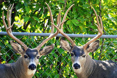 Photograph - Buck Eyes by AJ Schibig