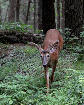 Photograph - Buck In Velvet by Kevin Myers