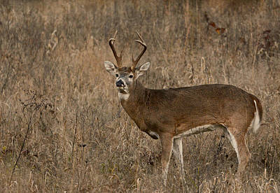 Photograph - Buck by Linda Shannon Morgan