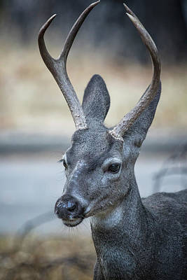 Photograph - Buck With Two Pronged Antlers by Belinda Greb