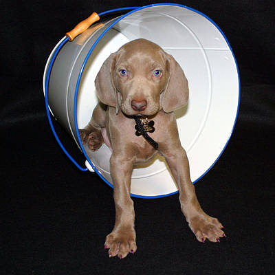 Weimaraner Photograph - Bucket by Nancy Ingersoll