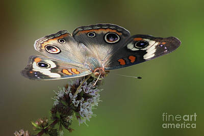 Photograph - Buckeye Beauty by Anita Oakley