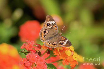Photograph - Buckeye Butterfly by Jill Lang