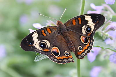 Photograph - Buckeye Butterfly by Joseph Skompski