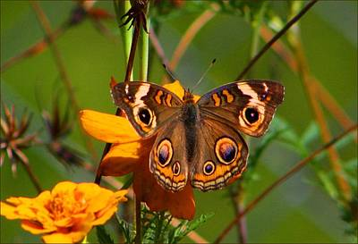 Photograph - Buckeye Butterfly by Kathryn Meyer
