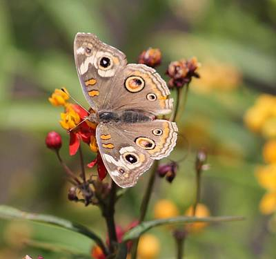 Photograph - Buckeye Butterfly by Liz Vernand