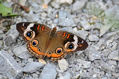 Photograph - Buckeye Butterfly by Maria Urso