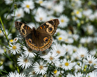 Photograph - Buckeye Butterfly On Heath Aster by Mick Anderson