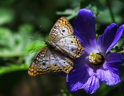 Photograph - White Peacock Butterfly On Purple Flower  by Saija Lehtonen