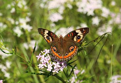 Photograph - Buckeye Butterfly Posing by Sheila Brown