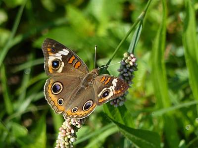 Wall Art - Photograph - Buckeye Butterfly by Robert Papps