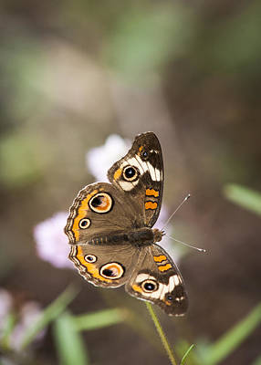 Photograph - Buckeye Butterfly by Robert Potts