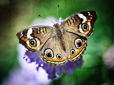 Buckeye Butterfly Photograph - Buckeye Butterfly  by Saija  Lehtonen
