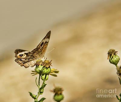Photograph - Buckeye Butterfly by Steven Parker