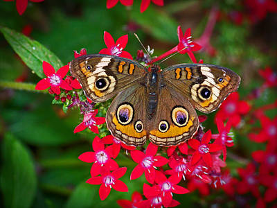 Photograph - Buckeye On Pentas by Judy Wanamaker