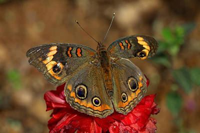 Photograph - Buckeye Perched On Red by Ruth Jolly