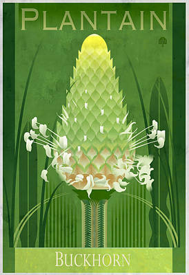 Florals Drawings - Plantain Buckhorn Poster by Garth Glazier