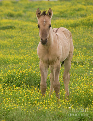 Photograph - Buckskin Foal In Yellow Flowers by Jim And Emily Bush