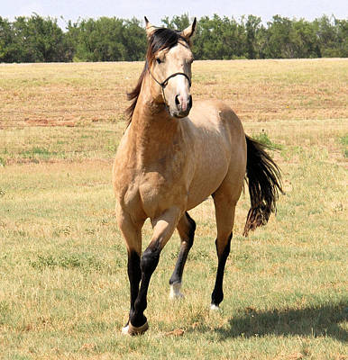 Buckskin Stallion From Front Art Print by Cheryl Poland