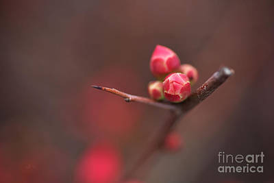 Photograph - Bud Of The Flowering Quince by Joy Watson