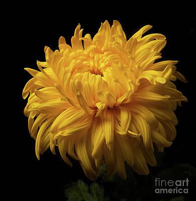 Bud Opening-chrysanthemum 'allison Peace Art Print