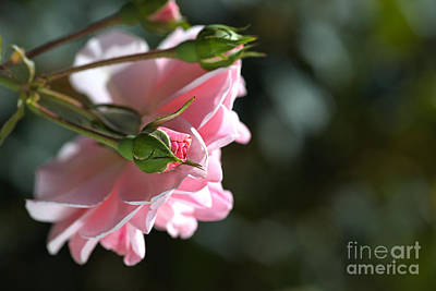 Photograph - Bud With Parent Rose by Joy Watson