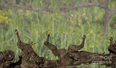 Photograph - Budbreak In Carneros by Carol Lynn Coronios