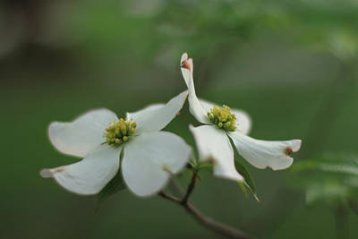 Indiana Dogwood Trees Photograph - Buddies by Andrea Kappler