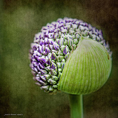 Wall Art - Photograph - Budding Allium by Jessica Manelis