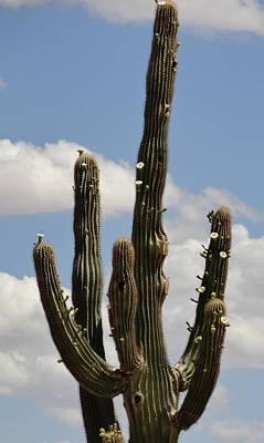 Photograph - Budding Saguaro Cactus Babies by Mozelle Beigel Martin