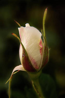 Photograph - Budding Beauty by Inge Riis McDonald