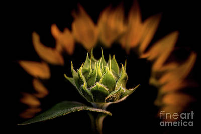 Photograph - Budding Hope by Kim Clune