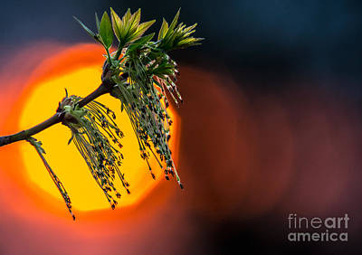 Photograph - Budding Leaf With Sunset Bokeh by Cheryl Baxter