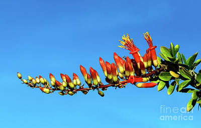 Photograph - Budding Ocotillo by Robert Bales