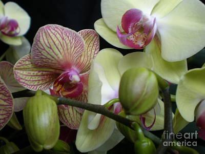 Budding Orchids  Art Print