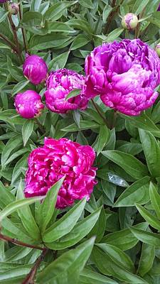 Autumn Pies - Budding Peonies by Connie Young