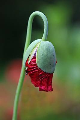 Photograph - Budding Poppy by Shirley Sirois