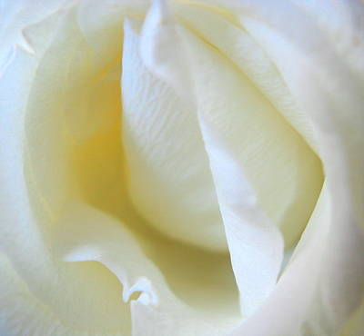 Photograph - Budding Rose by Rose Cowperthwaite