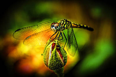 Tiger Dragonflies Photograph - Budding Visitor by Olahs Photography