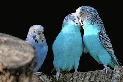 Photograph - Budgerigars by Nadia Sanowar