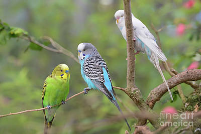 Photograph - Budgerigars by Olga Hamilton