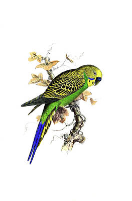 Parakeet Drawing - Budgie Parakeet by Lew Marcrum