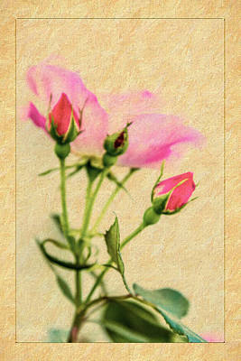 Photograph - Buds And Bloom - Rose Floral by Barry Jones