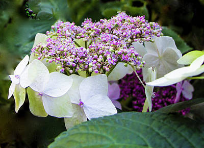 Photograph - Buds And Blooms, Hydrangea Or China Rose by Venetia Featherstone-Witty